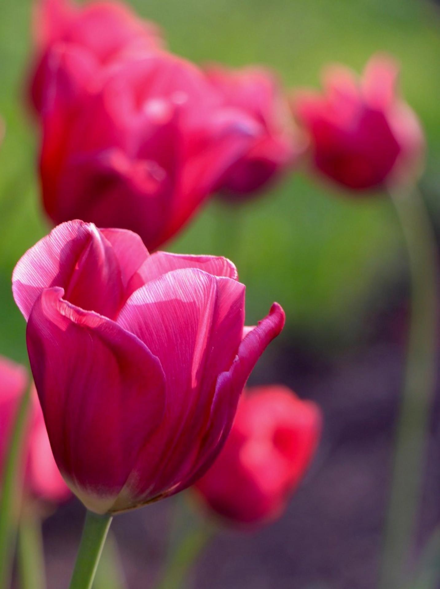 Lison Gervais tulipes rose foncé